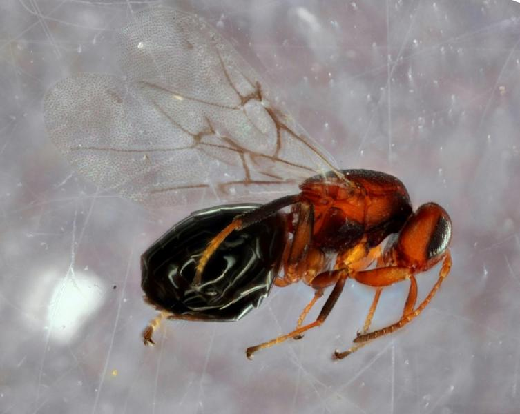 This handout image obtained courtesy of Andrew Forbes/University of Iowa shows a species of gall wasp (Bassettia pallida), a parasite that infests oak trees and is itself infested by another newly discovered wasp (AFP Photo/Andrew FORBES)