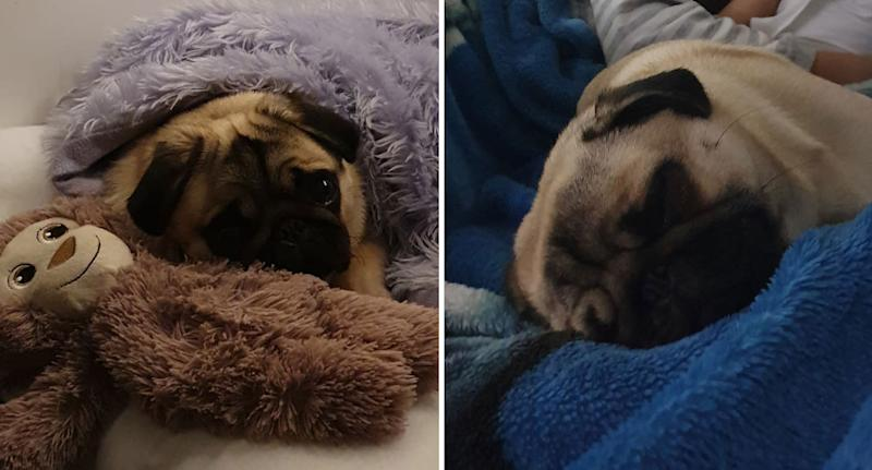 Photos showing Coco the pug before she was thrown over a fence by a robber in Perth.