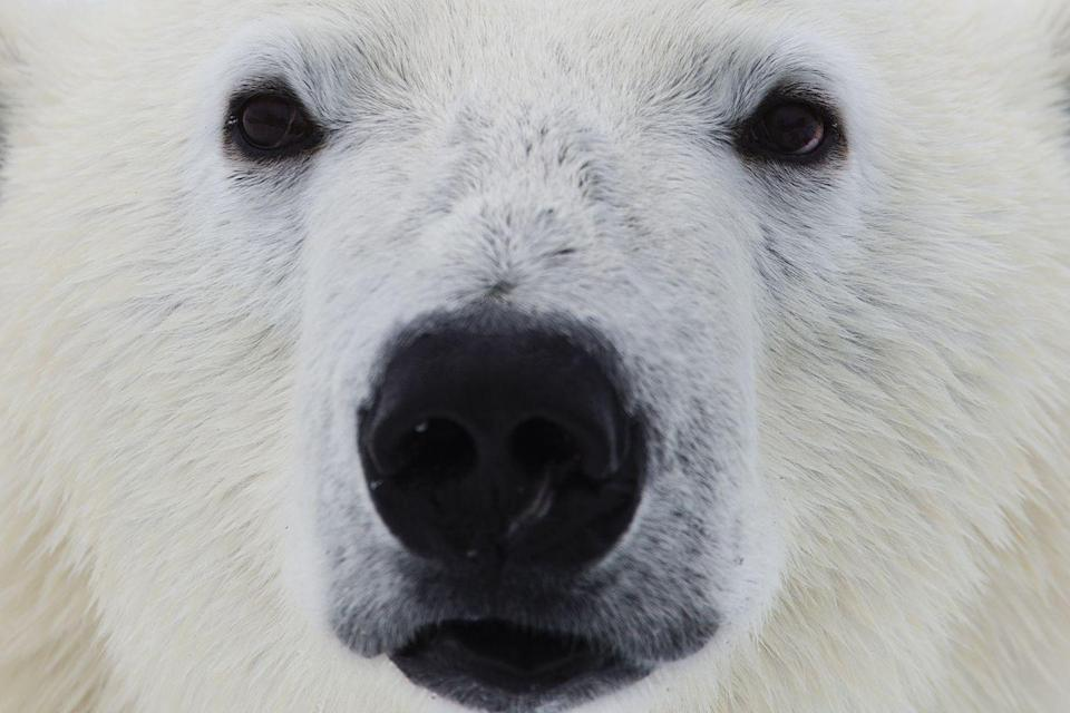 <p>They have a strong sense of smell, being able to catch a whiff of prey up to half a mile away. In fact, the World Wildlife Fund (WWF) says that these apex predators can smell a seal through <em>three feet of packed snow</em>. They can also sniff out a seal on ice up to 20 miles away.</p>
