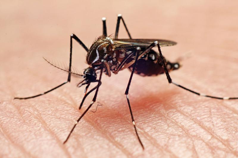 File photo of the Aedes aegypti, the main mosquito species that transmits dengue in Singapore. (Getty Images file photo)