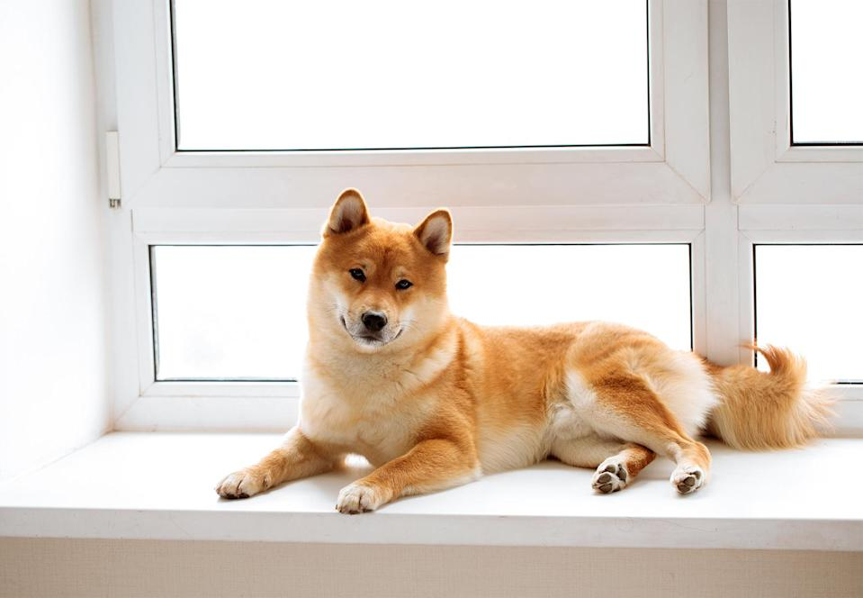 "<p>Famously for cat lovers, the <a href=""https://www.akc.org/dog-breeds/shiba-inu/"" rel=""nofollow noopener"" target=""_blank"" data-ylk=""slk:Shiba Inu"" class=""link rapid-noclick-resp"">Shiba Inu</a>'s demeanor tends to skew more feline than canine. And like cats, they do well in apartment living. Rather than bark, they very rarely make other vocalizations including the ""Shiba scream,"" which can be a sharp, vehement protest to bathing or nail-trimming.</p>"