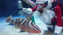 """<p>Another aquarium with a Scuba Santa in residence, the Newport Aquarium, shared a video of Santa """"scratching the back"""" of the aquarium's grouper with gravel.</p>"""