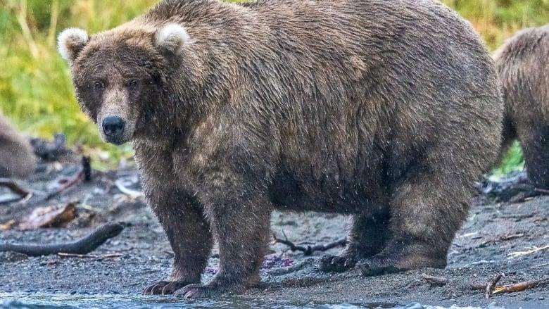 It's a battle of appetites in Alaska this week, as the public votes for their favourite bears in Fat Bear Week. (Submitted by Sara Wolson)