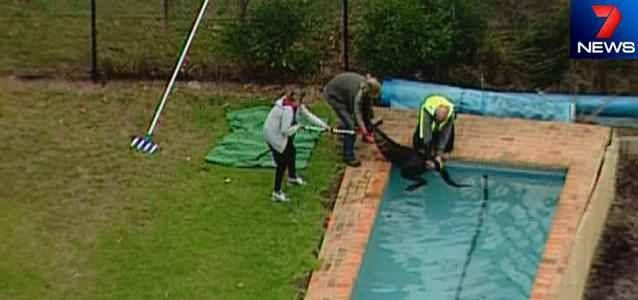 A kangaroo is pulled from a backyard swimming pool at Healesville. Photo: 7News