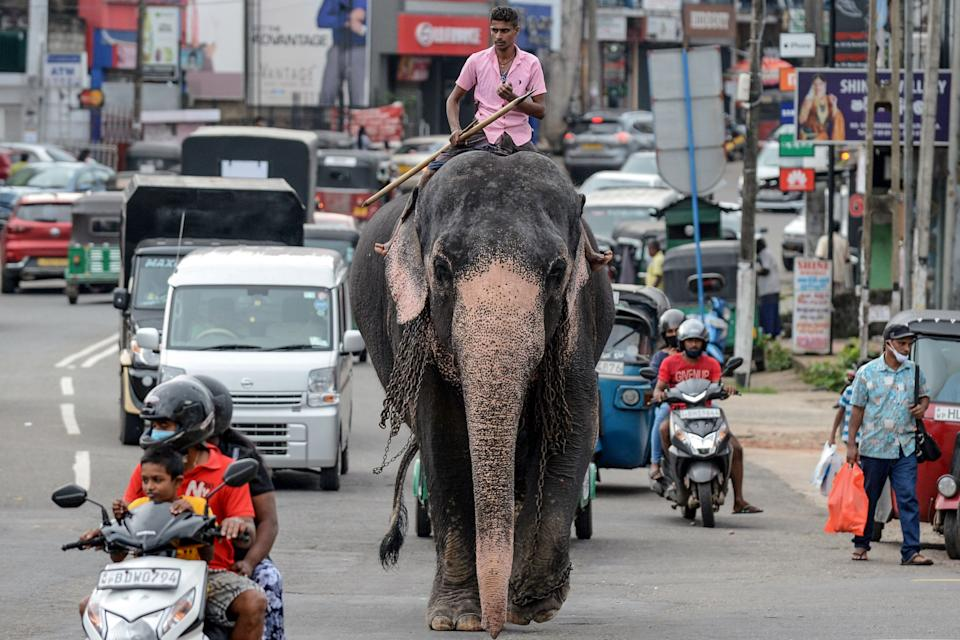 A mahout rides an elephant among the traffic down a street in Piliyandala, a suburb of Sri Lanka's capital Colombo on September 27, 2020. (Photo by LAKRUWAN WANNIARACHCHI / AFP) (Photo by LAKRUWAN WANNIARACHCHI/AFP via Getty Images)