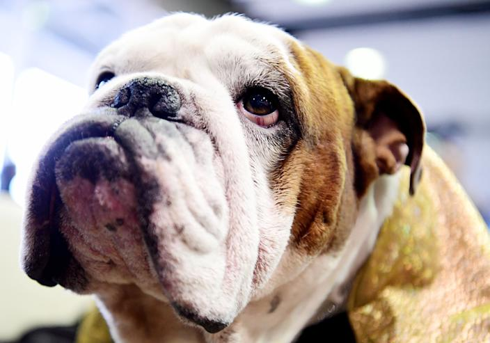 Gringo the Bulldog looks on during Breed Judging at the 143rd Westminster Kennel Club Dog Show at Piers 92/94 on Feb. 11, 2019. (Photo: Sarah Stier/Getty Images)
