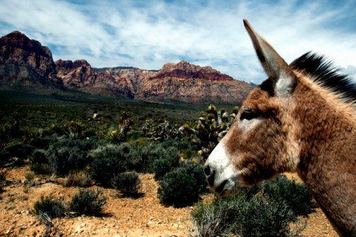 In the Red Rock Canyon National Conservation Area, there are about 100 feral jacks and jennies competing with bighorn sheep for shrubs and water.