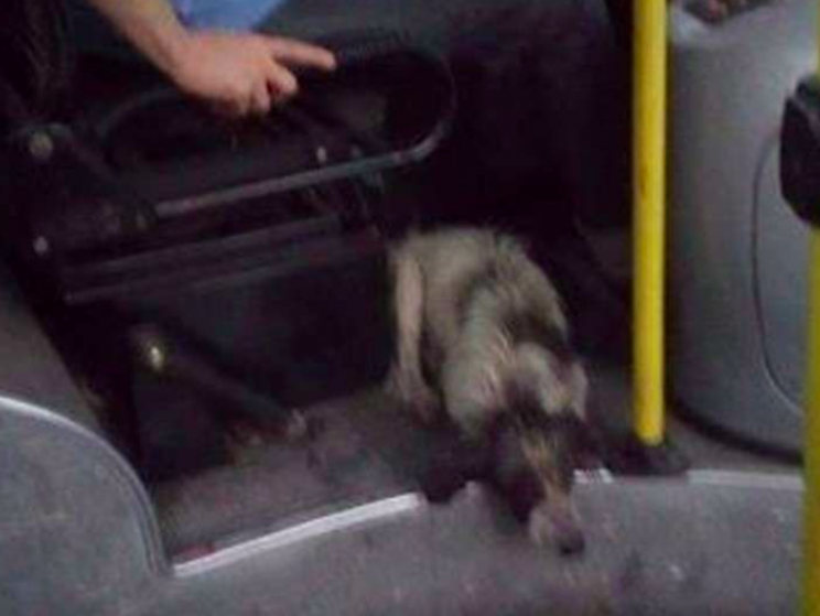 The dogs laid down at the bus drivers feet while he drove (Facebook/Amor Por Los Animales)