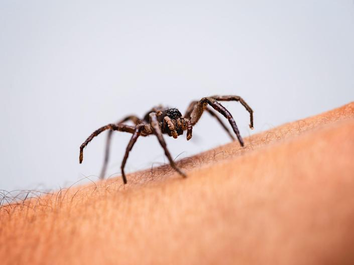 poisonous spider crawling on skin