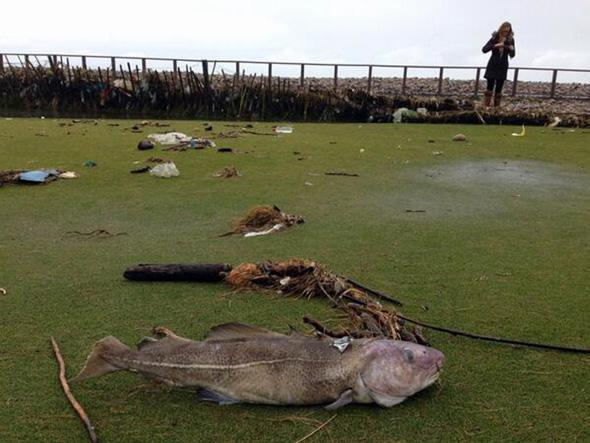 Pictured: A passerby takes a picture of the cod that was discovered on the third green.Re: A fully grown cod has been discovered at a golf course in south Wales. Peter Evans discovered the fish on the third green of the Royal Porthcawl Golf Club.The fish is believed to have been washed to the shore during the recent storms which has seen giant waves hitting the shores
