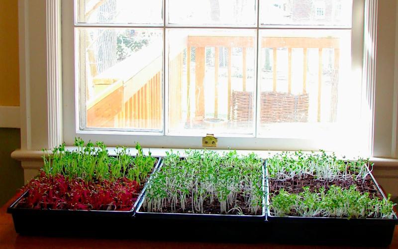 Microgreens can be grown on a sunny window year-round - Tribune News Service