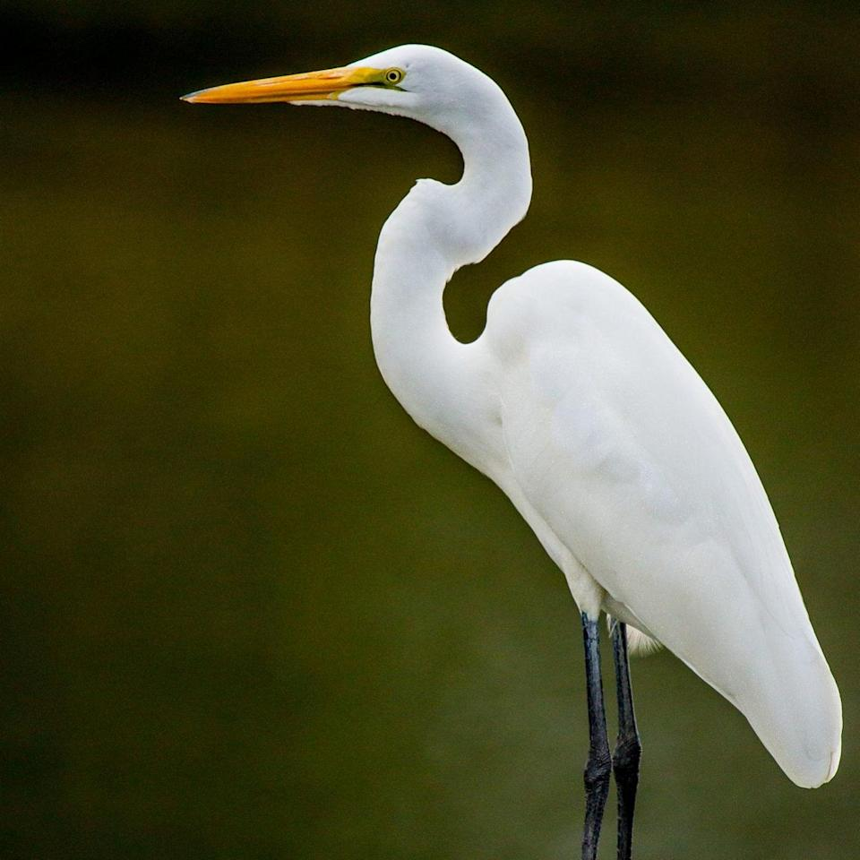 A great egret - Getty