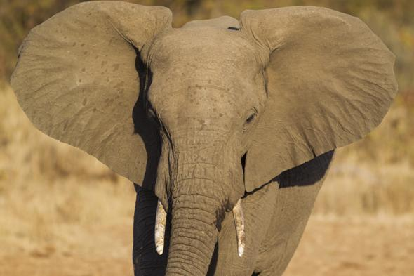 Mandatory Credit: Photo by Image Broker/REX (3483384a)African Elephant (Loxodonta africana), bull, Kruger National Park, South AfricaVARIOUS