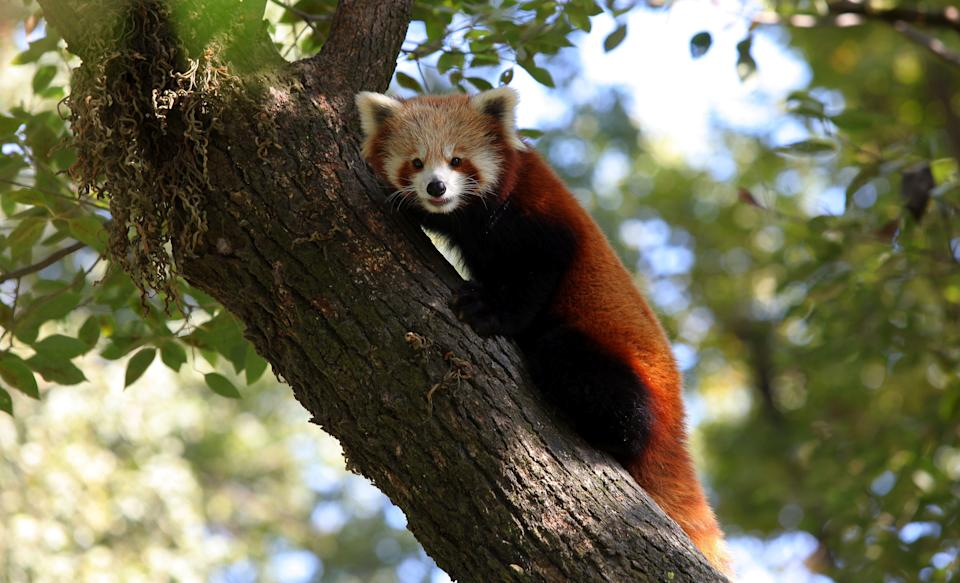 A red panda rests on the tree at Central Zoo in Lalitpur, Nepal, Nov. 8, 2016. Three red pandas are preserved and maintained at Central Zoo of Nepal, equipped with air conditioned room for balancing temperature. The red panda has been classified as endangered by the International Union for Conservation of Nature and Natural Resources (IUCN) as the population are declining in the world. Even the National Trust for Nature Conservation(NTNC) estimates the total number of red pandas in Nepal to be around 300, half of which are found in Langtang. (Xinhua /Sunil Sharma) ****Authorized by ytfs****  (Photo by Xinhua/Sipa USA)