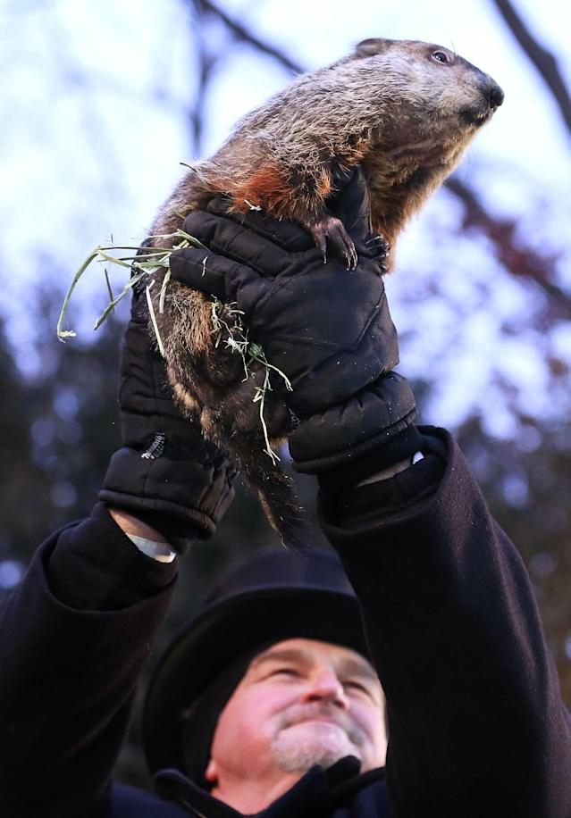 PUNXSUTAWNEY, PA - FEBRUARY 02: Groundhog co-handler John Griffiths holds up Punxsutawney Phil after Phil didn't see his shadow and predicting an early spring during the 127th Groundhog Day Celebration at Gobbler's Knob on February 2, 2013 in Punxsutawney, Pennsylvania. The Punxsutawney 'Inner Circle' claimed that there were about 35,000 people gathered at the event to watch Phil's annual forecast. (Photo by Alex Wong/Getty Images)