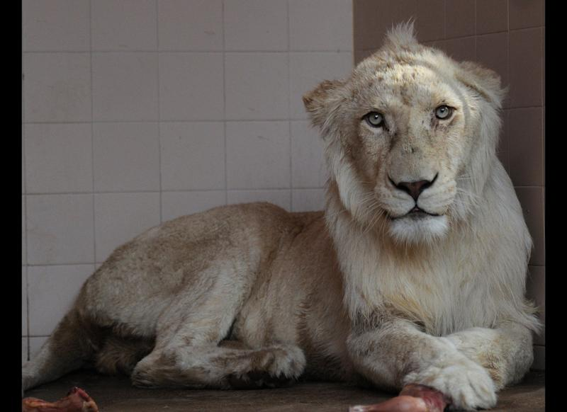 One of two white lions, newly arrived in Pakistan from Belgium, sits in a cage of the municipal zoo in Karachi on July 17, 2012. The city's municipality has bought a pair of Bengal Tigers and White Lions, which are being temporarily kept in the zoological garden, before they are shifted to the city's safari park to enhance public interest in nature. AFP PHOTO/ Asif HASSAN (Photo credit should read ASIF HASSAN/AFP/GettyImages)