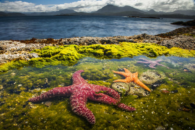 Ochre starfish are the main predators of limpets in rock pools at Vancouver Island, British Columbia, Canada. But the limpets are known to fight back. (Photo: Paul Williams/BBC)
