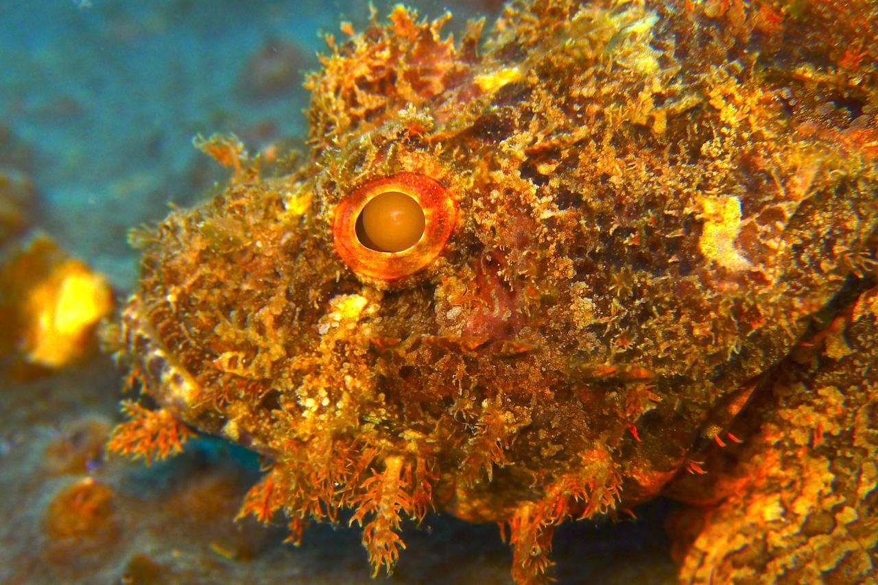 A pretty ugly scorpion fish rests on a rock in the waters off Pulau Redang, Malaysia. This fish is called the Scorpionfish because the spikes on it really sting like a scorpion.