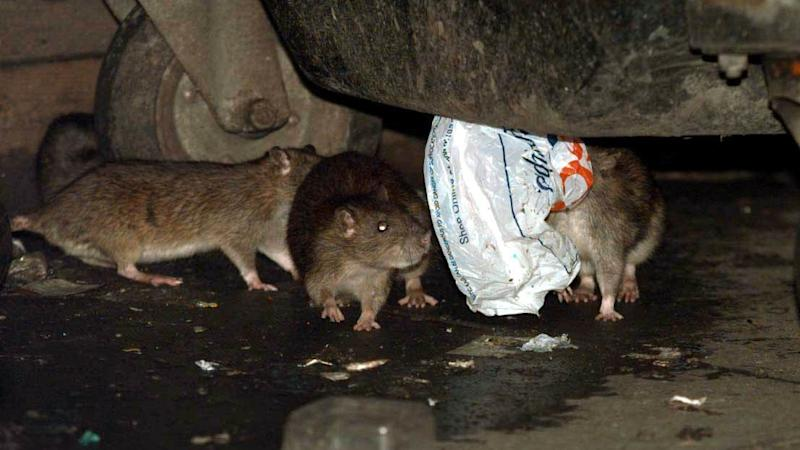 Rats play quid pro quo with each other, study concludes
