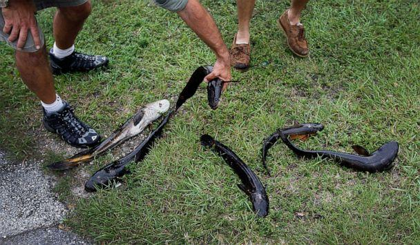 PHOTO: In this May 16, 2012, file photo, Dan Bieniek and Jason Calvert, display six snakehead fish they caught in a canal in Weston, Fla. (Joe Raedle/Getty Images, FILE)
