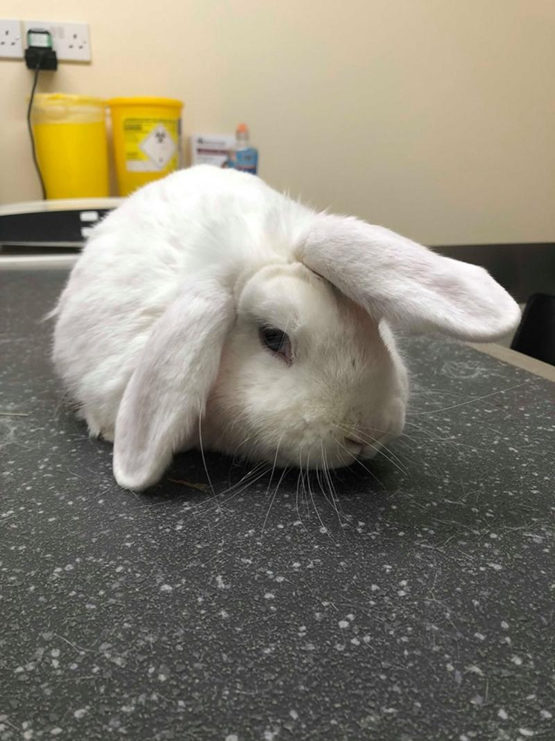 Wonky the rabbit, who is looking for a home before Christmas