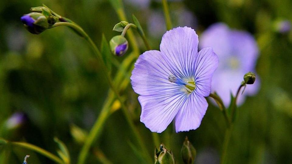 A flowering flax plant