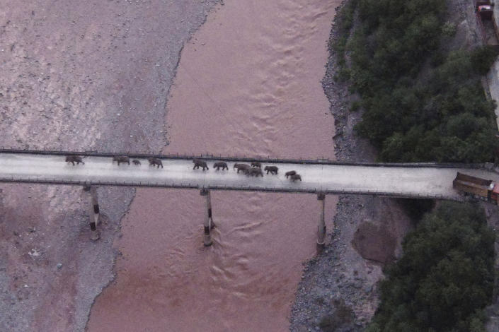 In this photo released by the Yunnan Provincial Command Center for the Safety and Monitoring of North Migrating Asian Elephants, a herd of wandering elephants cross a river using a highway near Yuxi city, Yuanjiang county in southwestern China's Yunnan Province Sunday, Aug. 8, 2021. The 14 elephants of various sizes and ages were guided across the Yuanjiang river in Yunnan province on Sunday night and a path is being opened for them to return to the nature reserve in the Xishuangbanna Dai Autonomous Prefecture. (Yunnan Provincial Command Center for the Safety and Monitoring of North Migrating Asian Elephants via AP)