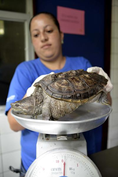 Cindy Rivera, a nurse at the Simon Bolivar Zoo's veterinary surgery, weighs a turtle in San Jose on August 28, 2014 Costa Rica (AFP Photo/Ezequiel Becerra)