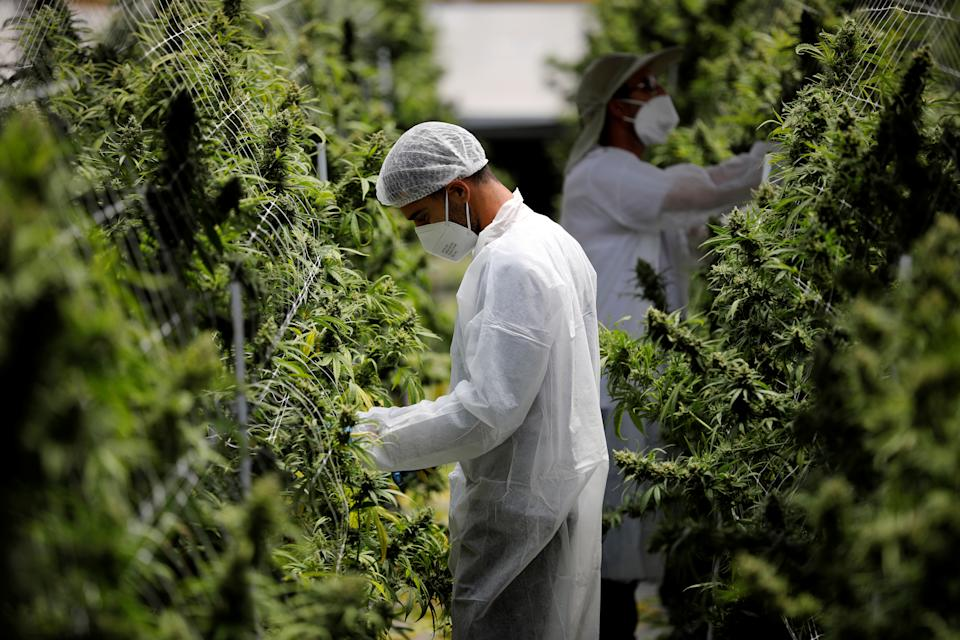 Employees tend to medical cannabis plants at Pharmocann, a medical cannabis company in northern Israel. Photo: Amir Cohen/Reuters