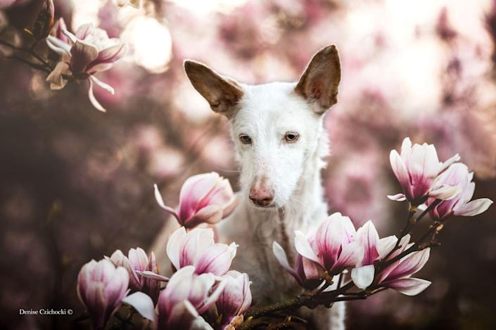 <p>This beautiful image of Merlin, a rescued Podengo who is 14-years-old, captivated the judges and was awarded first prize. </p>