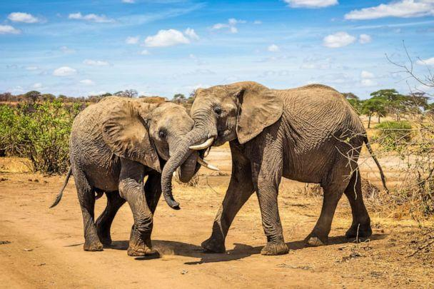 PHOTO: A pair of African bush elephant are seen in this stock photo. (STOCK PHOTO/Getty Images)
