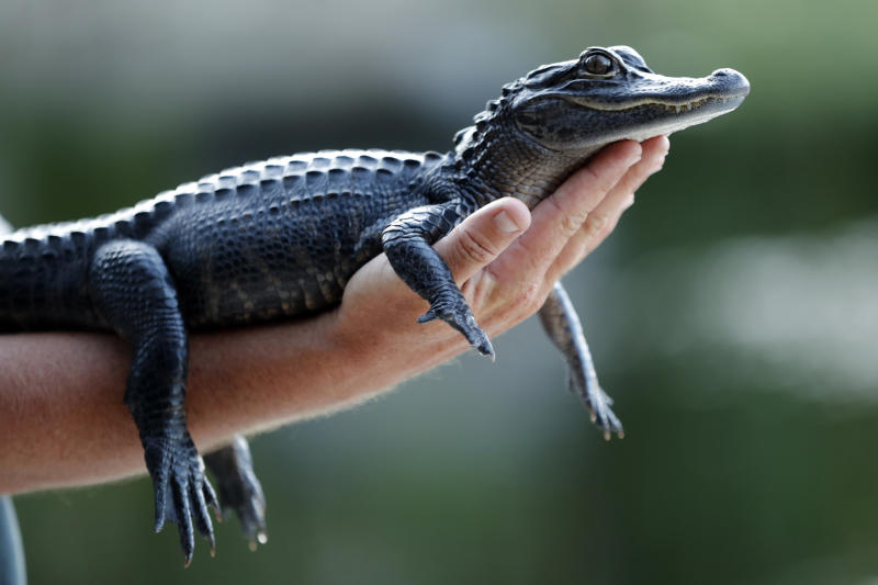 FILE - In this Tuesday, Oct. 22, 2019 file photo, a two-year-old alligator is held by a tourist at an airboat ride tour company on the Tamiami Trail just north of Everglades National Park, Fla. Louisiana is suing California over the state's decision to ban the import and sale of alligator products, saying the ban will hurt an important state industry and ultimately could hurt the state's wetlands. In a lawsuit filed Thursday, Dec. 12, 2019,  Louisiana said the economy surrounding alligators has played a key role in bringing back the American alligator population and is an important factor in protection wetlands and other species besides alligators that depend on the wetlands. (AP Photo/Robert F. Bukaty, File)