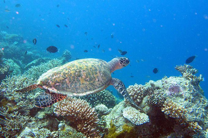 A hawksbill turtle. Photo: Roderick Eime.