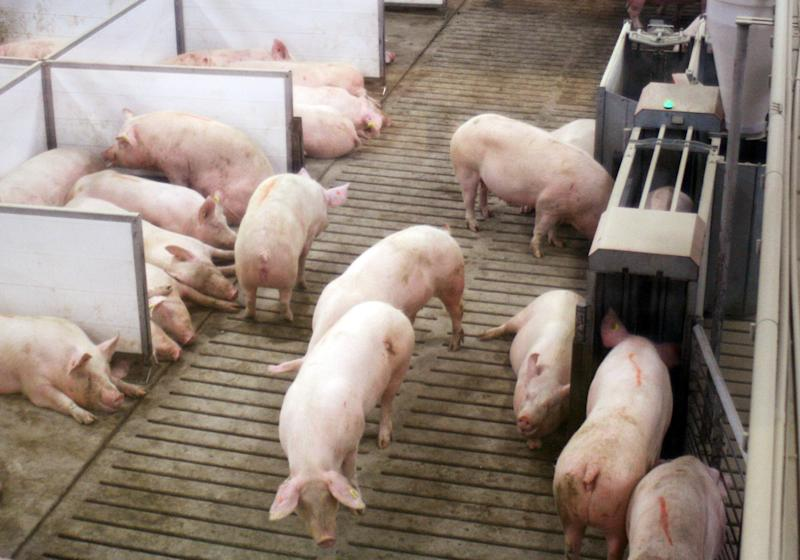 In this March 3, 2014 photo sows at Fair Oaks Farms in Fair Oaks, Ind., lay in nesting boxes, left, inside a larger group pen, while another eats inside an electronic feeding stall, right. Animal rights activists have been pushing hog farmers to move pregnant pigs into group pens from individual gestation stalls often too narrow for the animals to turn around. (AP Photo/M.L.Johnson)