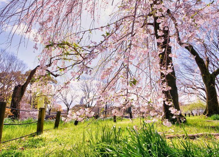 Take advantage of the opportunity to learn more about cherry blossom viewing and cherry blossom culture