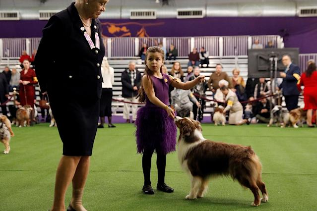 <p>Handler Addison Lancaster has her Miniature American shepherd Pyro judged during Day One of competition at the Westminster Kennel Club 142nd Annual Dog Show in New York, Feb.12, 2018. (Photo: Shannon Stapleton/Reuters) </p>