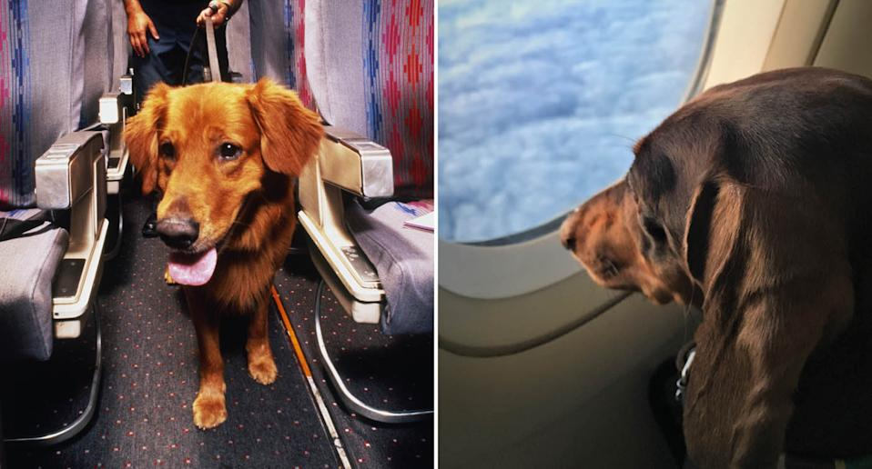 A dog walks along a plane aisle (left). A dog looks outside from a plane window (right). Source: AP
