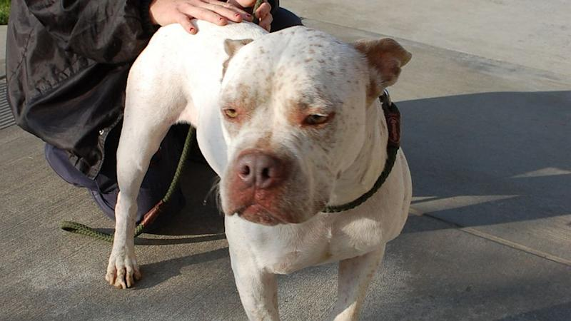 Calif. County Orders 3,000 Pit Bulls to Be Spayed and Neutered
