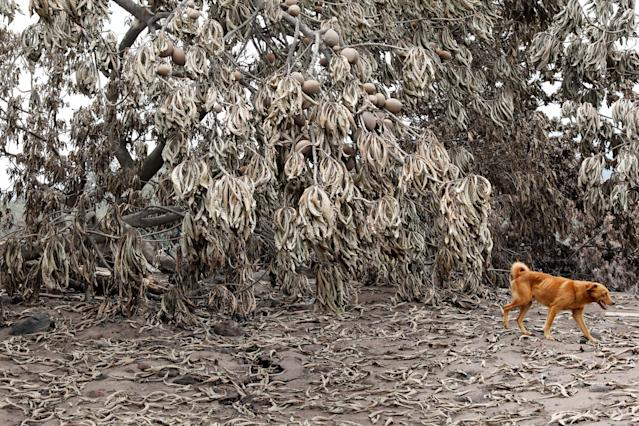 <p>A dog walks past trees covered with ash after the eruption of the Fuego volcano in San Miguel Los Lotes in Escuintla, Guatemala, June 8, 2018. (Photo: Carlos Jasso/Reuters) </p>