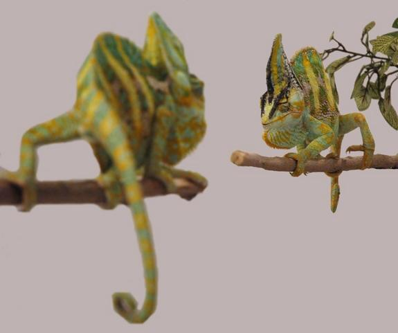 Trippy! Chameleons Intimidate Rivals with Quick Color Change