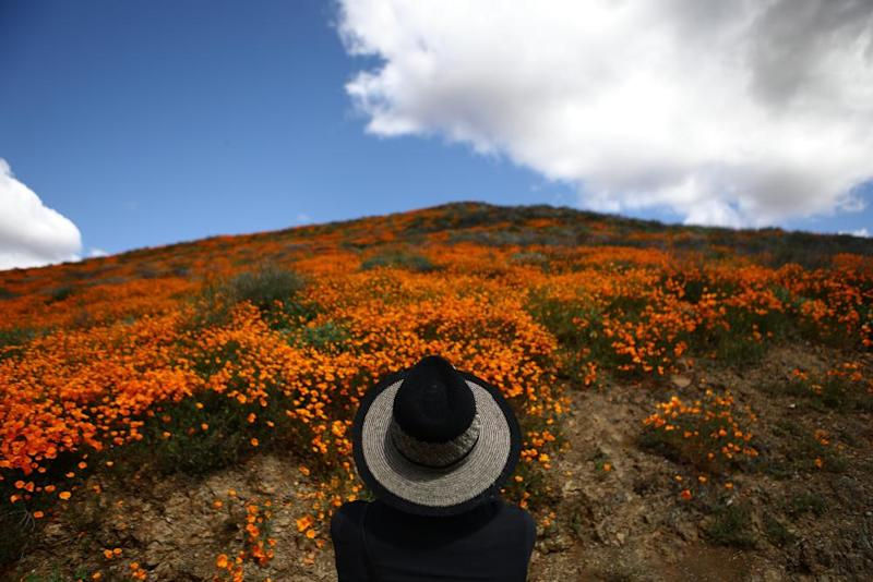 Wild poppies blanket the hills of Walker Canyon near Lake Elsinore.