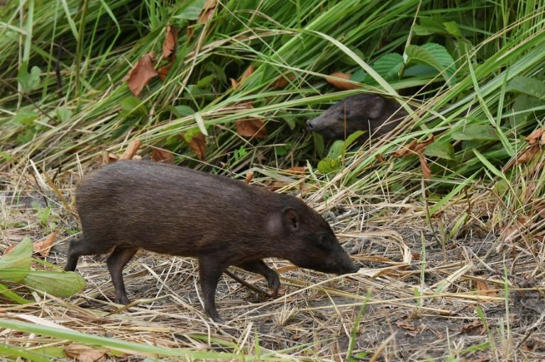 The pygmy hog, which has the scientific name porcula salvania, lives in tall, wet grasslands