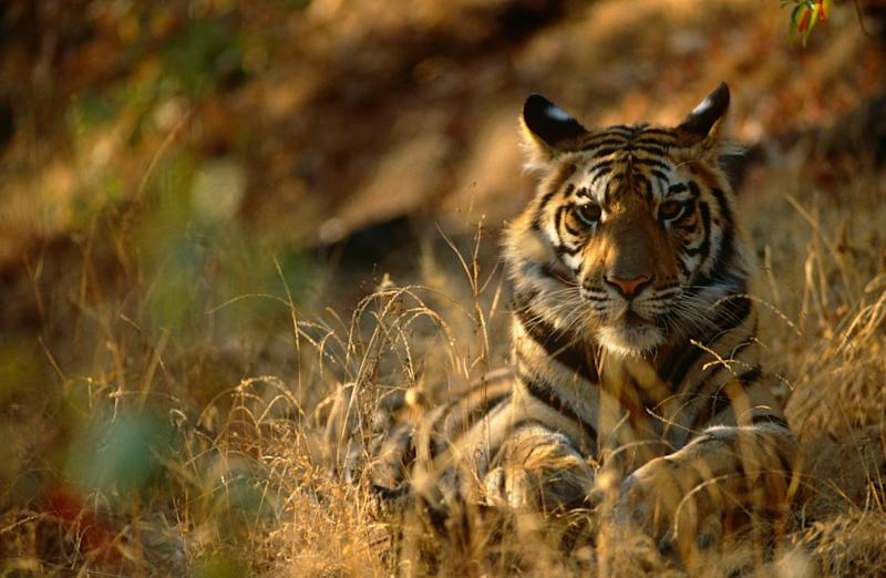 April is the perfect time to track tigers in India - PA