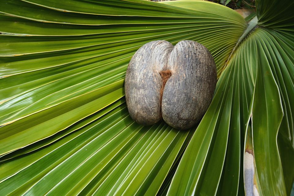 Female Coco De Mer nut on coco de mer leaf. Photo credit -Gerald Larose.jpg