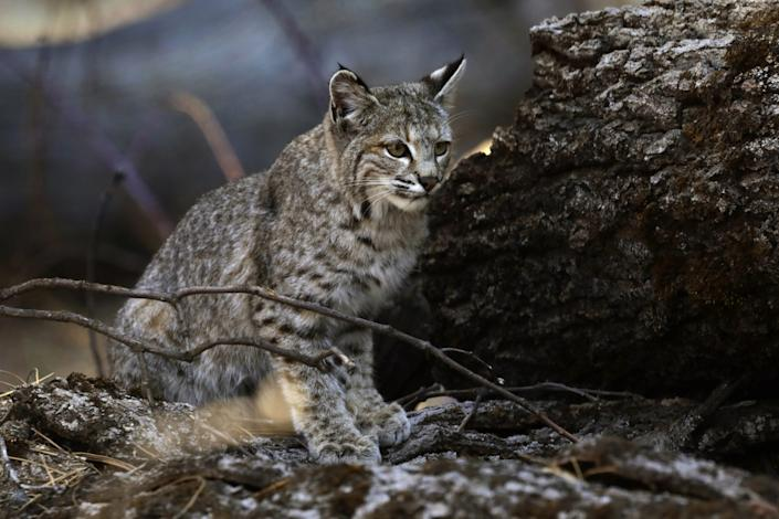 """A young bobcat hunts for a meal in Yosemite Valley. <span class=""""copyright"""">(Carolyn Cole / Los Angeles Times)</span>"""