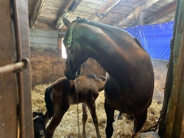 'We didn't want to lose Dixie after losing her mom and she already grew on me so much,' says Alexis Gass of the foal.   (Sara Fraser/CBC - image credit)