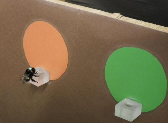 A bee forages at a brightly colored feeding platform.