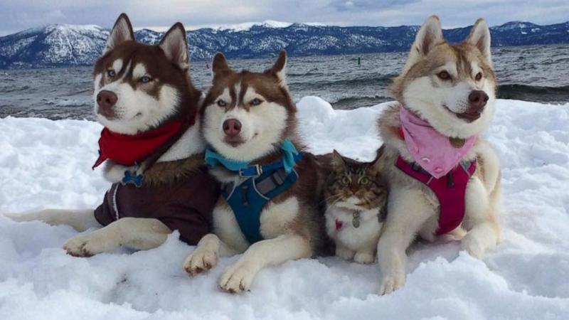 3 Siberian Huskies Adopt Cat 'Best Friend' Into Their Pack