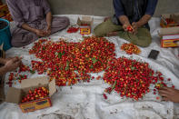 Kashmiri farmers pack freshly plucked cherries before sending them to a wholesale market in Waliwar village, north east of Srinagar, Indian controlled Kashmir, Wednesday, June 16, 2021. Cherry farmers in Kashmir who were not able get most of their produce to the markets last year because of the COVID-19 pandemic are hoping for good returns this year. (AP Photo/ Dar Yasin)
