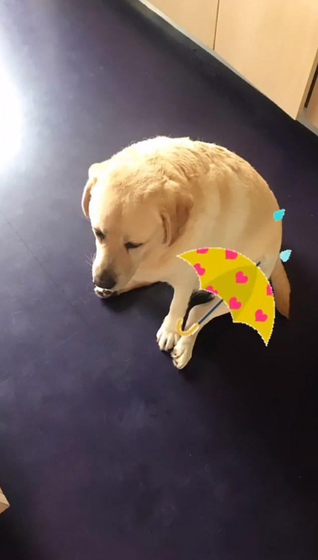 Sam Armytage's golden retriever Banjo sitting on the floor inside her home